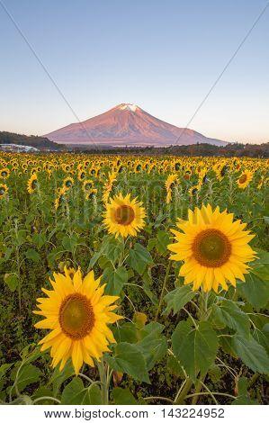 Sunflower Field and Mountain Fuji at Yamanaka flower park in autumn season