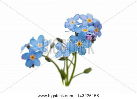 beautiful spring forget-me-flower on a white background