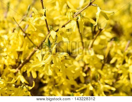 Blossoming forsythia bus or flowers with selective focus. Close-up shot with copy space.