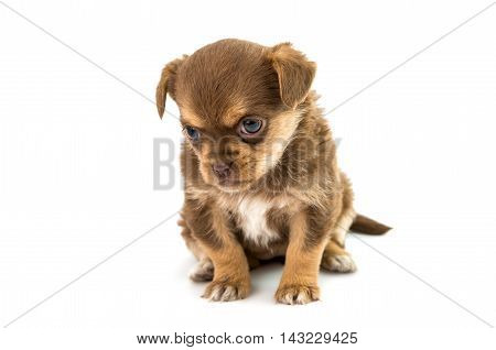 puppy black, doggy isolated on white background
