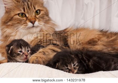 Lovely siberian cat with newborn kittens close-up