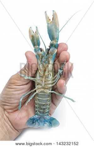 Blue crayfish Live lobster in hand on white background