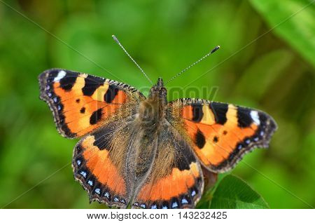 Beautiful butterfly sitting on a flower with spread wings and looks