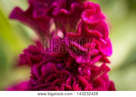 Beautiful magenta Cockscomb (Celosia cristata) flowers closeup. Vivid colors and blue, green soft blurry background.