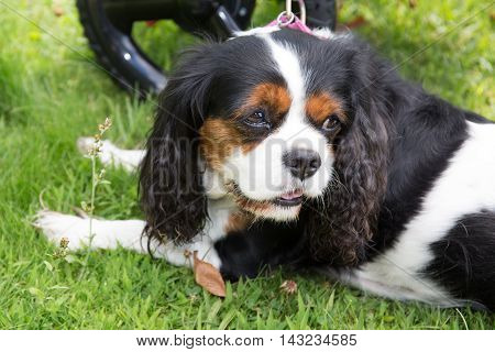 cute puppy - cavalier king charles spaniel tricolor puppy in the park