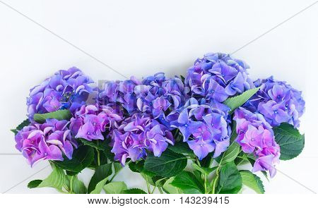 blue and violet hortensia flowers border on white background