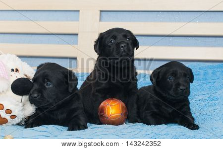 little black doggy  puppy Labradors in bed