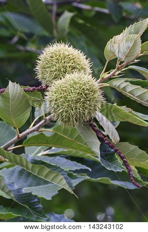 American chestnut (Castanea dentata). Close up image of fruits