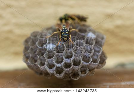 Closeup on a wasp nest. Cells with larva.