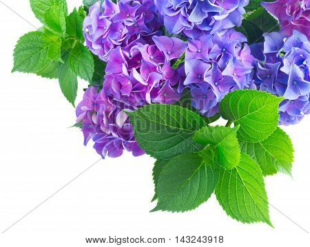 blue and violet hortensia flowers with fresh green leaves close up isolated on white background
