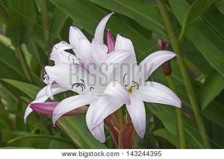 Mrs. James Hendry crinum lily (Crinum x hybrid Mrs. James Hendry). Hybrid between Crinum x digwidii and Crinum x scabrum