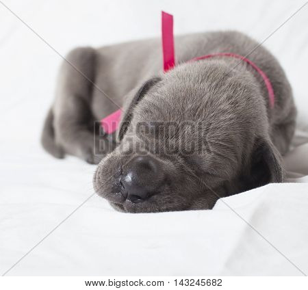Very young purebred Great Dane puppy asleep on white
