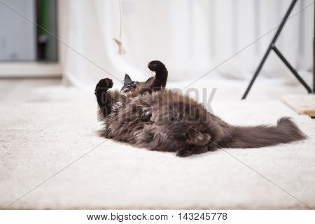 Maine Coon cat lying on the floor and playing with toy. Focus on feet.