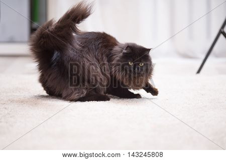 Brown Maine Coon Kitten playing with toy on the floor