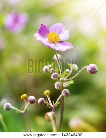 Pink anemone hupehensis or thimble weed in the sun, with selective focus.