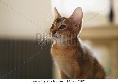 abyssinian kitten wild color indoor portrait, shallow focus
