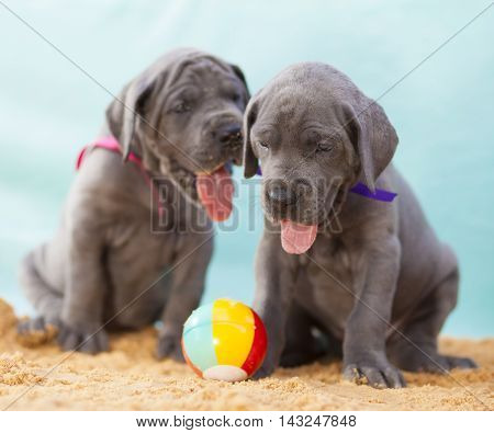 Two purebred Great Dane puppies on the sand with a ball