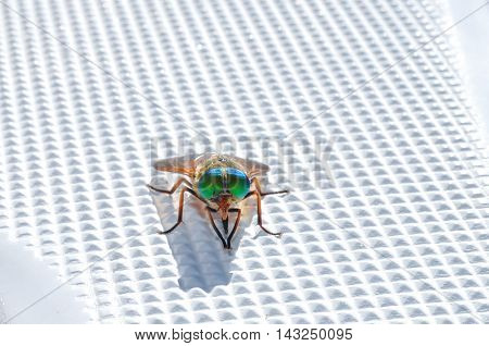 Varicolored fly sits and washes on plastic boat surface
