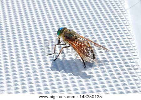 Varicolored fly sits on plastic surface of sail boat