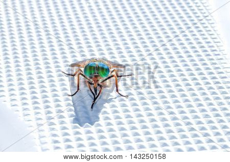 Multicolored fly sits and washes on plastic surfa