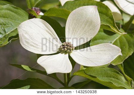 Rutcan constellation dogwood flower (Cornus x hybrid Rutcan). One of hybrids between Cornus florida and Cornus kousa