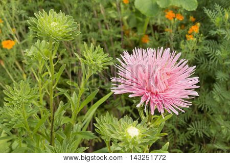 Beautiful flower of the aster grows in flowerbed on green background