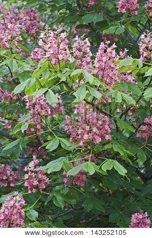 Red horse-chestnut flowers (Aesculua x carnea). Artificial hybrid between Aesculua pavia and nnAesculus hippocastanum