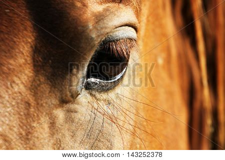 Close up eye of chestnut purebred horse