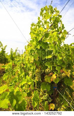 White Grapes In The Vineyard On A Farm