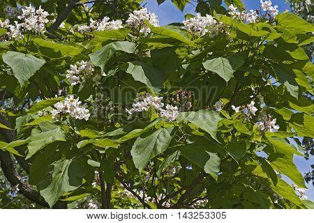 Northern catalpa tree in blossom (Catalpa speciosa). Called Hardy Catalpa Western Catalpa Cigar Tree and Catawba-tree also
