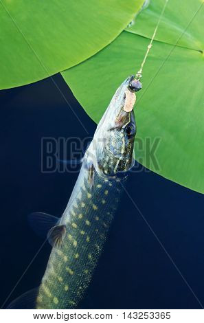 caught pike in the river near the water lilies