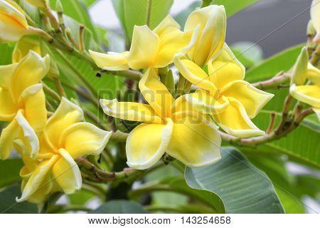 Plumeria flower . beautiful yellow Plumeria on the tree. ( Common name Apocynaceae Frangipani Pagoda tree Temple tree )