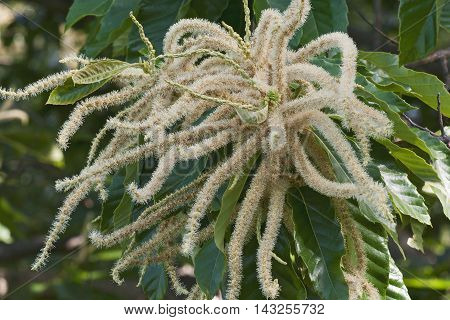 American chestnut (Castanea dentata). Close up image of male flowers