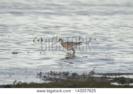 Black-tailed Godwit, Limosa Limosa, Wading In The Water