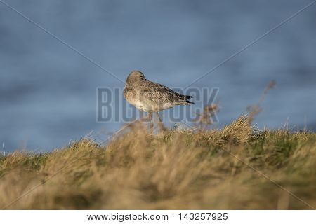 Black-tailed Godwit, On The Marshland In Front Of The Sea, Resting