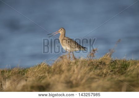 Black-tailed Godwit, On The Marshland In Front Of The Sea, Squawking
