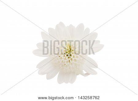 white chrysanthemum flower on a white background