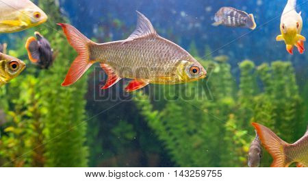 A photo of a common roach with a lot fishes in aquarium.