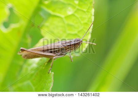 Brown grasshopper Podisma pedestris, green leaf background. macro view, shallow depth of field, copy space