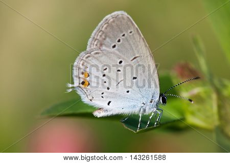 Blue wings butterfly macro. gossamer-winged Polyommatus icarus sitting on green leaf. macro nature concept. shallow depth of field, soft focus