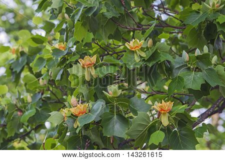 Tulip tree (Liriodendron tulipifera). Called Tuliptree American Tulip Tree Tulip Poplar Yellow Poplar Whitewood and Fiddle-tree also. Symbol of Indiana Kentucky and Tennessee