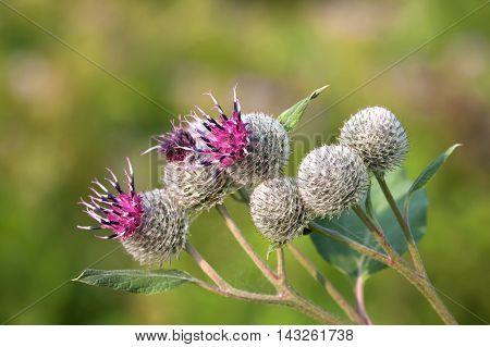 Medicinal herb burdock Arctium lappa, blooming violet flowers. soft background, macro view photo