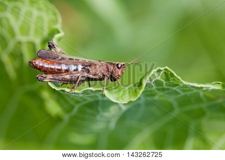 Grasshopper on a green leaf. insect macro view, shallow depth of field, horizontal