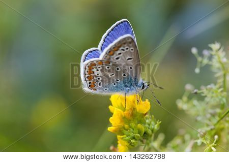 Colorful butterfly closeup. Blue orange gossamer-winged Polyommatus icarus on yellow flower. Summer time landscape, macro view