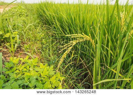 Rice plant with grain in nuture background