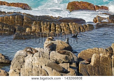 A group of New Zealand fur seals swimming, sunbathing on Colony rocks near the ocean at Admirals Arch, coast of Kangaroo Island, South Australia