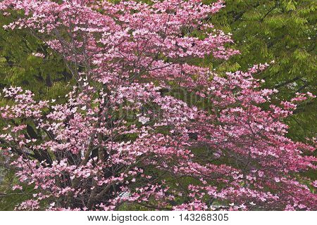 Flowering Dogwood (Cornus florida). Called American Dogwood and Eastern Dogwood also. Symbol of North Carolina West Virginia Missouri and Virginia. Image of tree in blossom