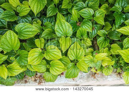 Material. Thai medicinal plants.(Piper sarmentosum Roxb.) thai