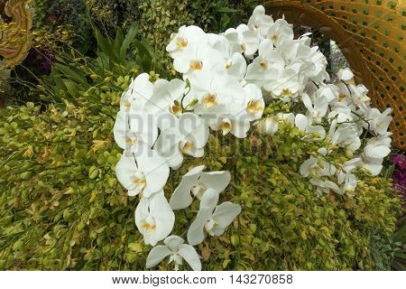 White Phalaenopsis orchid flowers on yellow orchid flowers