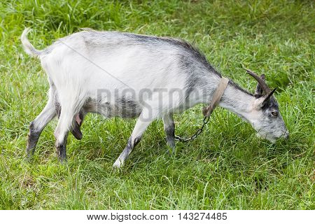 Goat grazing on a green meadow. Capra aegagrus hircus at summer time